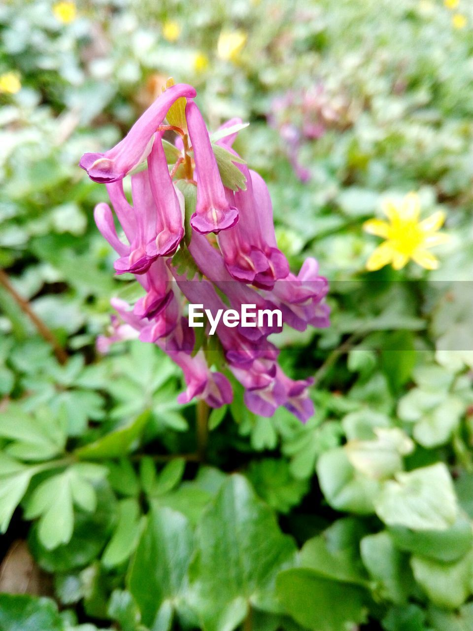 flowering plant, flower, freshness, pink color, plant, beauty in nature, fragility, vulnerability, growth, close-up, petal, inflorescence, flower head, nature, no people, day, focus on foreground, selective focus, plant part, leaf, outdoors, springtime, spring
