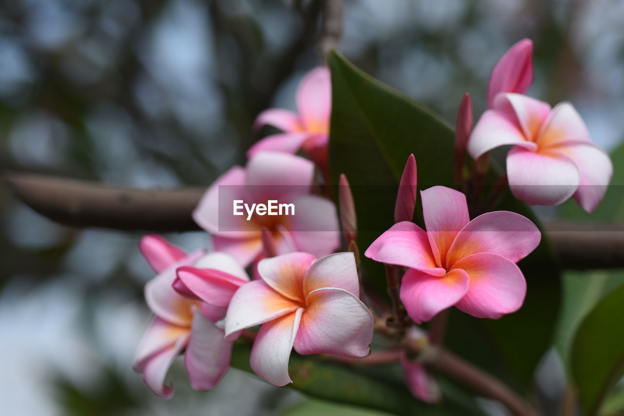 flowering plant, plant, flower, fragility, vulnerability, beauty in nature, freshness, petal, growth, close-up, flower head, inflorescence, pink color, day, focus on foreground, frangipani, nature, no people, selective focus, outdoors, springtime