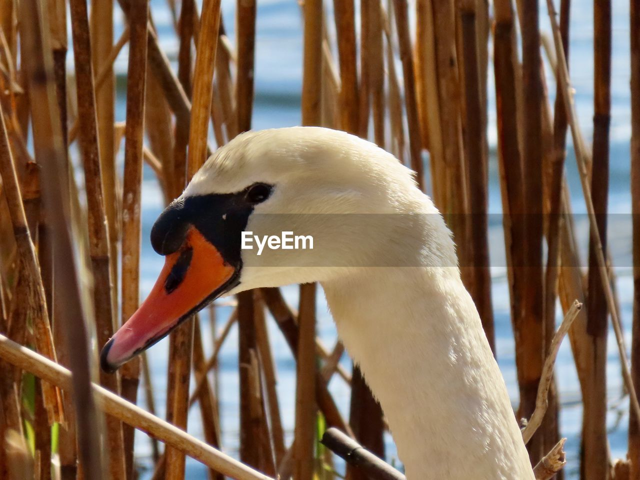 animal themes, animal, animal wildlife, animals in the wild, bird, one animal, vertebrate, beak, focus on foreground, close-up, nature, day, animal body part, white color, no people, side view, zoology, water, outdoors, beauty in nature, animal neck, animal head