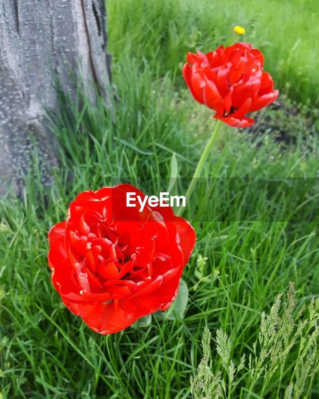 plant, flower, red, flowering plant, beauty in nature, freshness, growth, fragility, petal, vulnerability, nature, field, inflorescence, land, close-up, flower head, grass, poppy, day, no people, outdoors