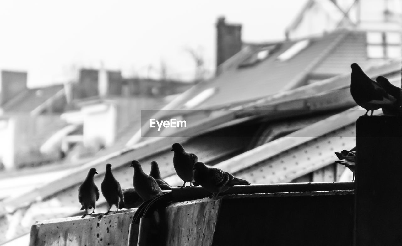 Low angle view of pigeons perching on roof