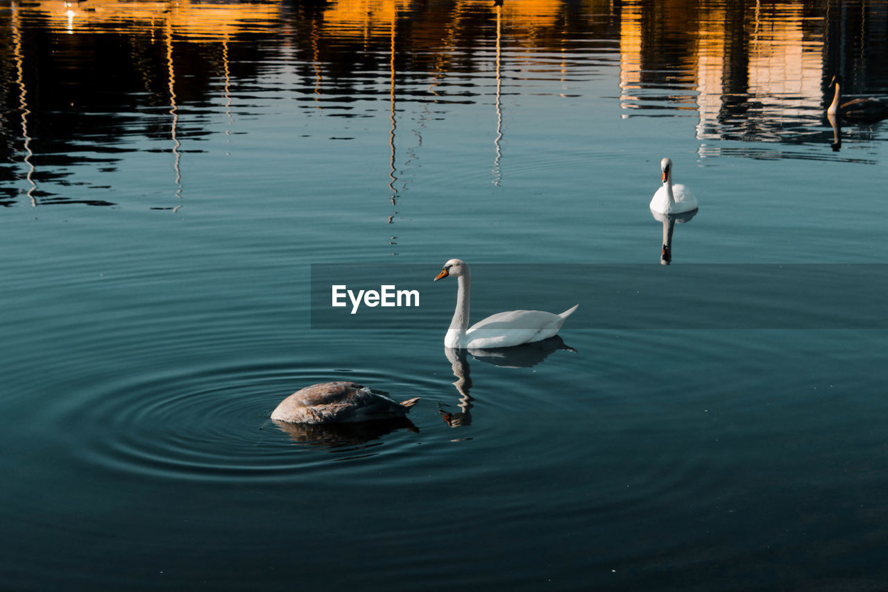 High Angle View Of Swans In Lake