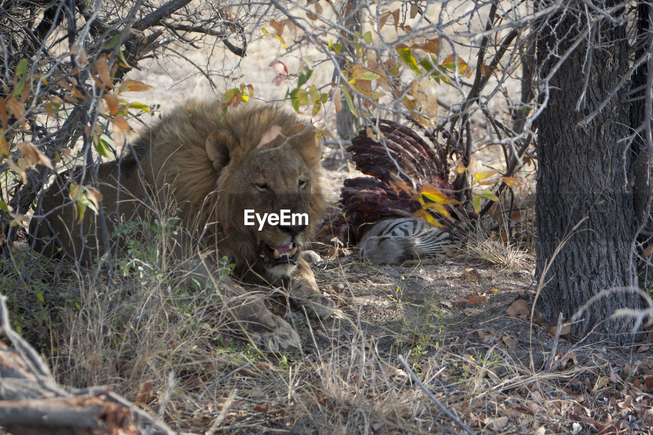 Lion Resting By Dead Zebra At Forest