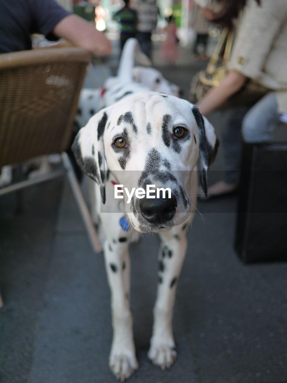 Portrait Of Dalmatian Dog Standing On Street