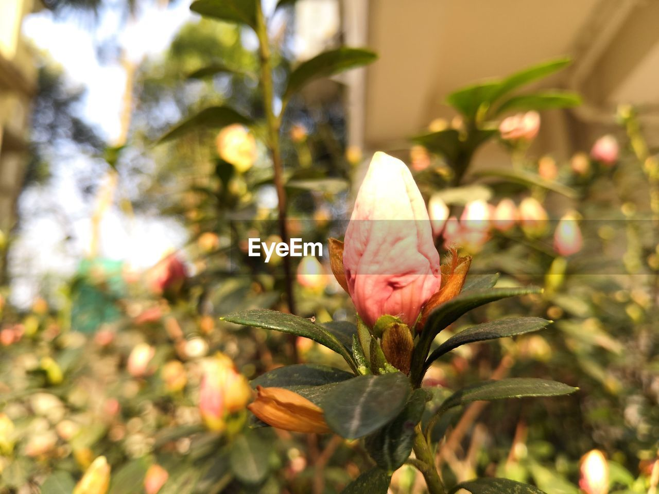 plant, growth, beauty in nature, flower, flowering plant, freshness, vulnerability, fragility, close-up, petal, focus on foreground, nature, day, no people, selective focus, botany, flower head, pink color, green color, inflorescence, outdoors