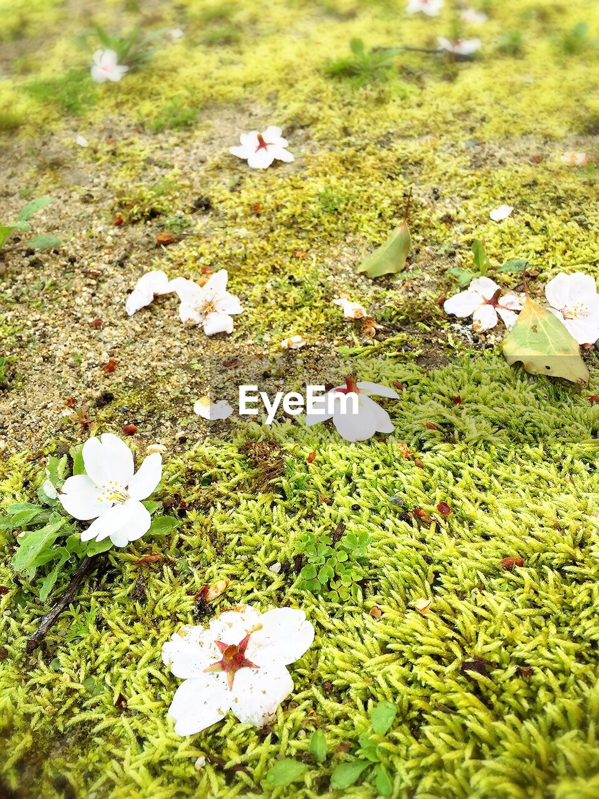 flower, grass, petal, fragility, high angle view, growth, freshness, white color, field, flower head, nature, leaf, beauty in nature, green color, plant, grassy, blooming, day, close-up, no people