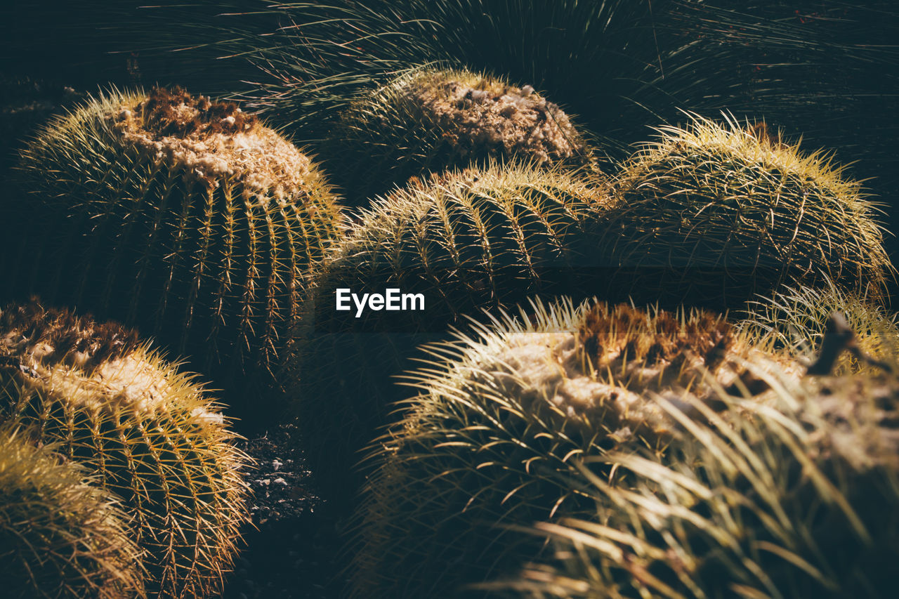 growth, no people, cactus, close-up, plant, nature, succulent plant, thorn, day, beauty in nature, selective focus, spiked, natural pattern, sharp, sunlight, outdoors, land, high angle view, sign, green color, spiky, arid climate