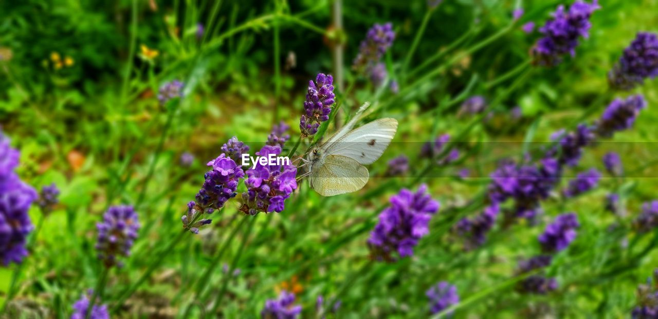 flower, flowering plant, plant, beauty in nature, purple, invertebrate, fragility, growth, vulnerability, animal wildlife, animals in the wild, animal themes, insect, animal, freshness, one animal, animal wing, petal, butterfly - insect, flower head, pollination, no people, lavender, outdoors, butterfly