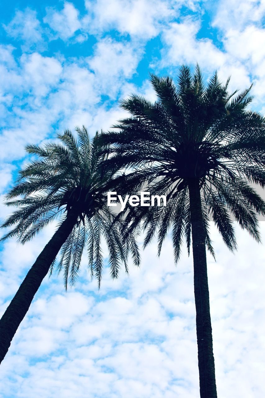 sky, palm tree, tropical climate, cloud - sky, low angle view, tree, plant, growth, nature, tree trunk, trunk, beauty in nature, no people, day, tall - high, tranquility, outdoors, scenics - nature, tropical tree, coconut palm tree, palm leaf
