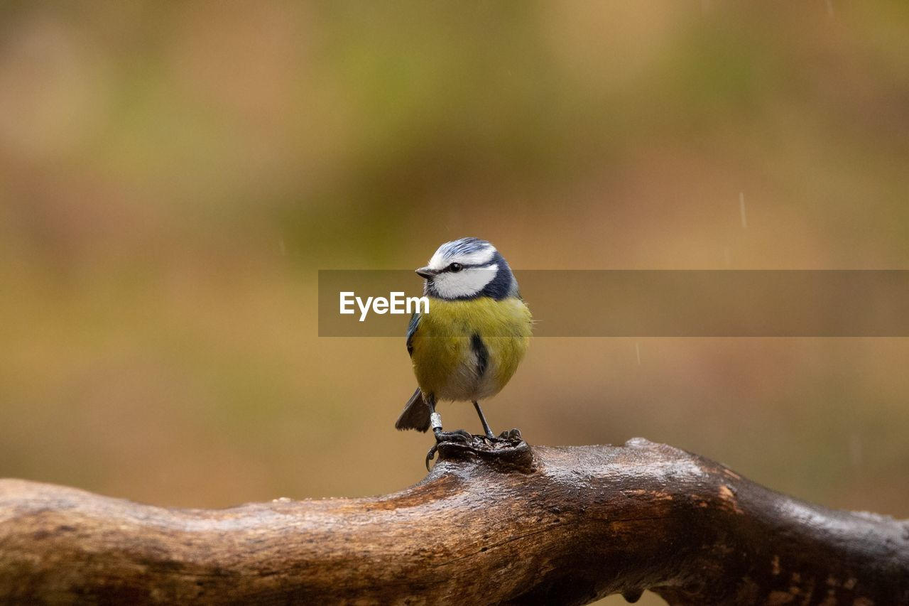 bird, vertebrate, animal themes, animal wildlife, animals in the wild, animal, perching, one animal, focus on foreground, day, no people, bluetit, close-up, outdoors, nature, great tit, beauty in nature, wood - material, songbird, zoology
