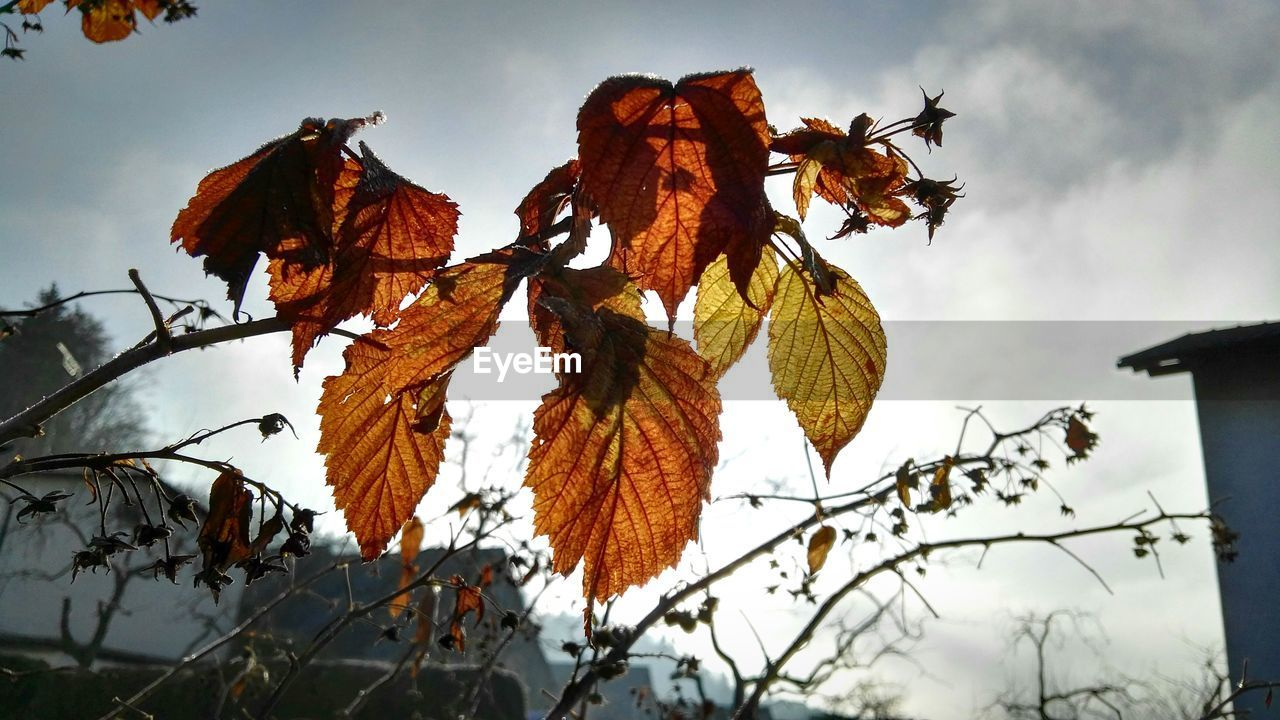 nature, outdoors, sky, no people, low angle view, day, leaf, beauty in nature, hanging, tree, winter, branch, close-up
