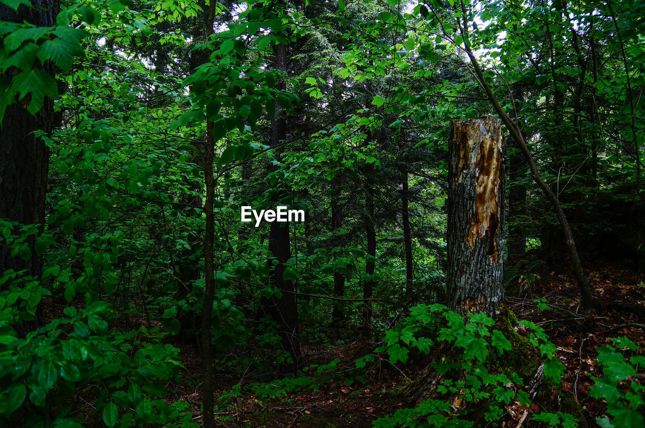 forest, tree, growth, nature, green, no people, outdoors, day