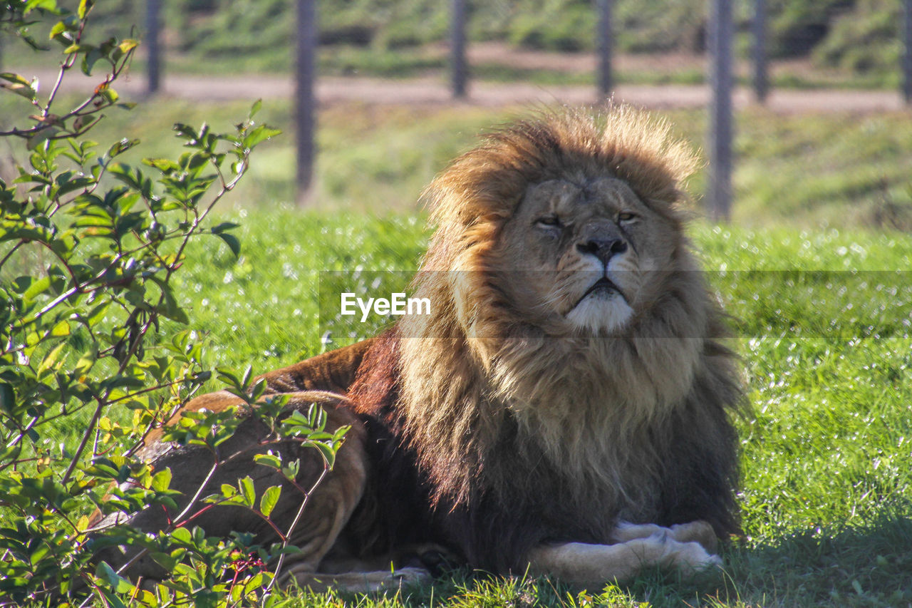 mammal, animal, animal themes, one animal, animal wildlife, animals in the wild, feline, cat, plant, lion - feline, vertebrate, relaxation, land, no people, field, grass, day, nature, sitting, focus on foreground, outdoors, zoo, animal head