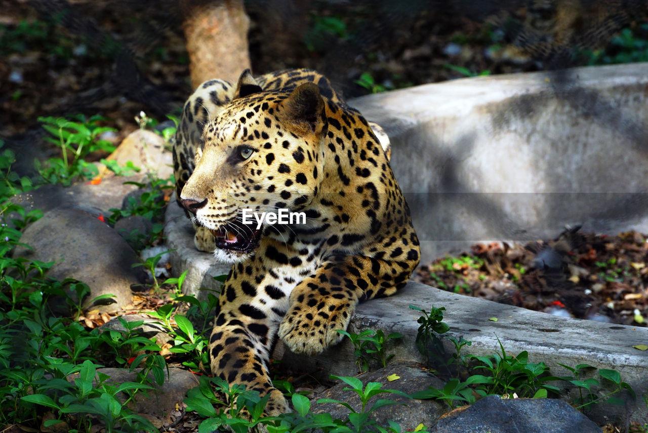 big cat, animal, feline, animal themes, animal wildlife, mammal, one animal, animals in the wild, leopard, no people, nature, cat, day, vertebrate, animal markings, carnivora, tree, forest, land, portrait, outdoors, whisker
