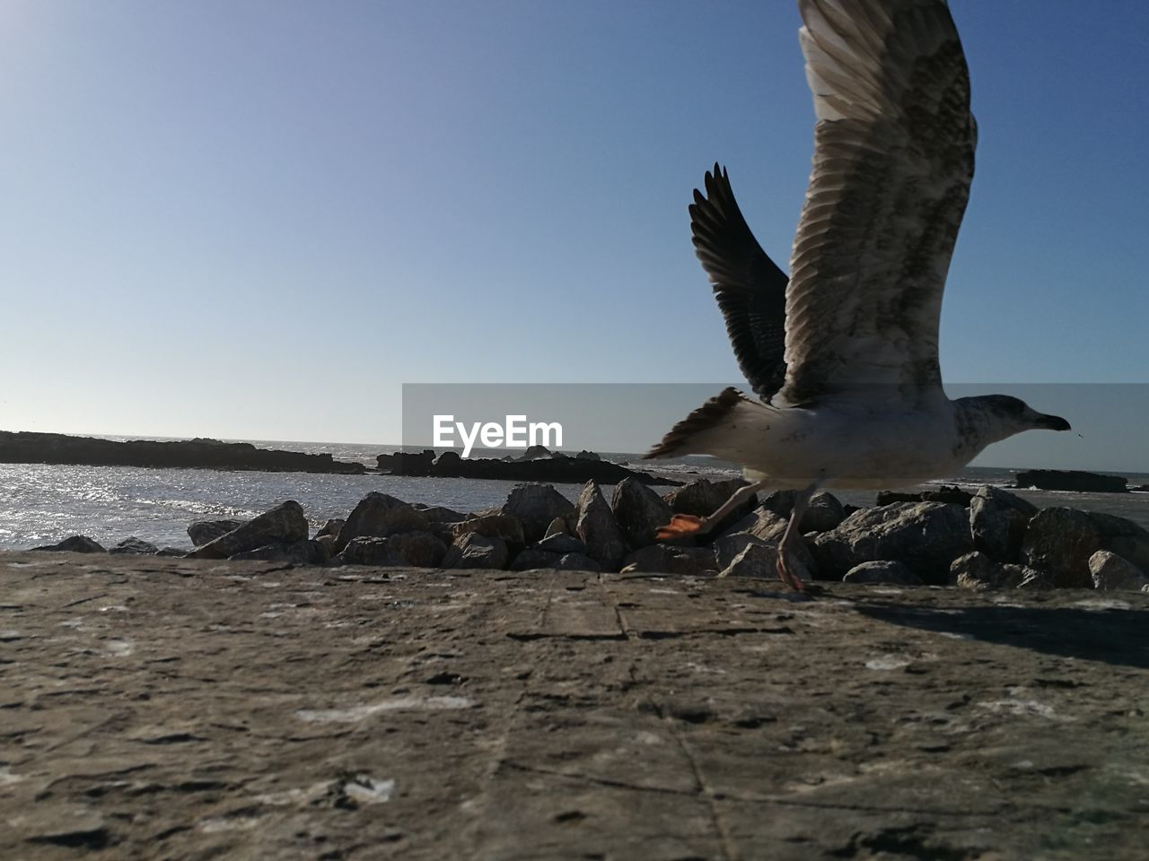 Seagull flying over shore against clear blue sky