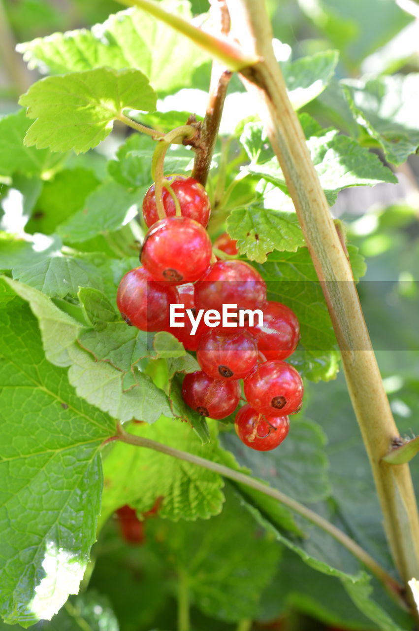 red, fruit, food and drink, growth, leaf, tree, food, day, nature, outdoors, freshness, growing, focus on foreground, no people, green color, healthy eating, close-up, branch, rowanberry, plant, beauty in nature
