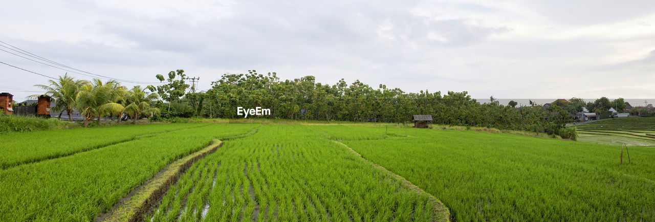 agriculture, field, growth, farm, green color, tree, rural scene, crop, cultivated land, nature, landscape, beauty in nature, sky, cloud - sky, scenics, rice paddy, outdoors, day, tranquility, tea crop, no people