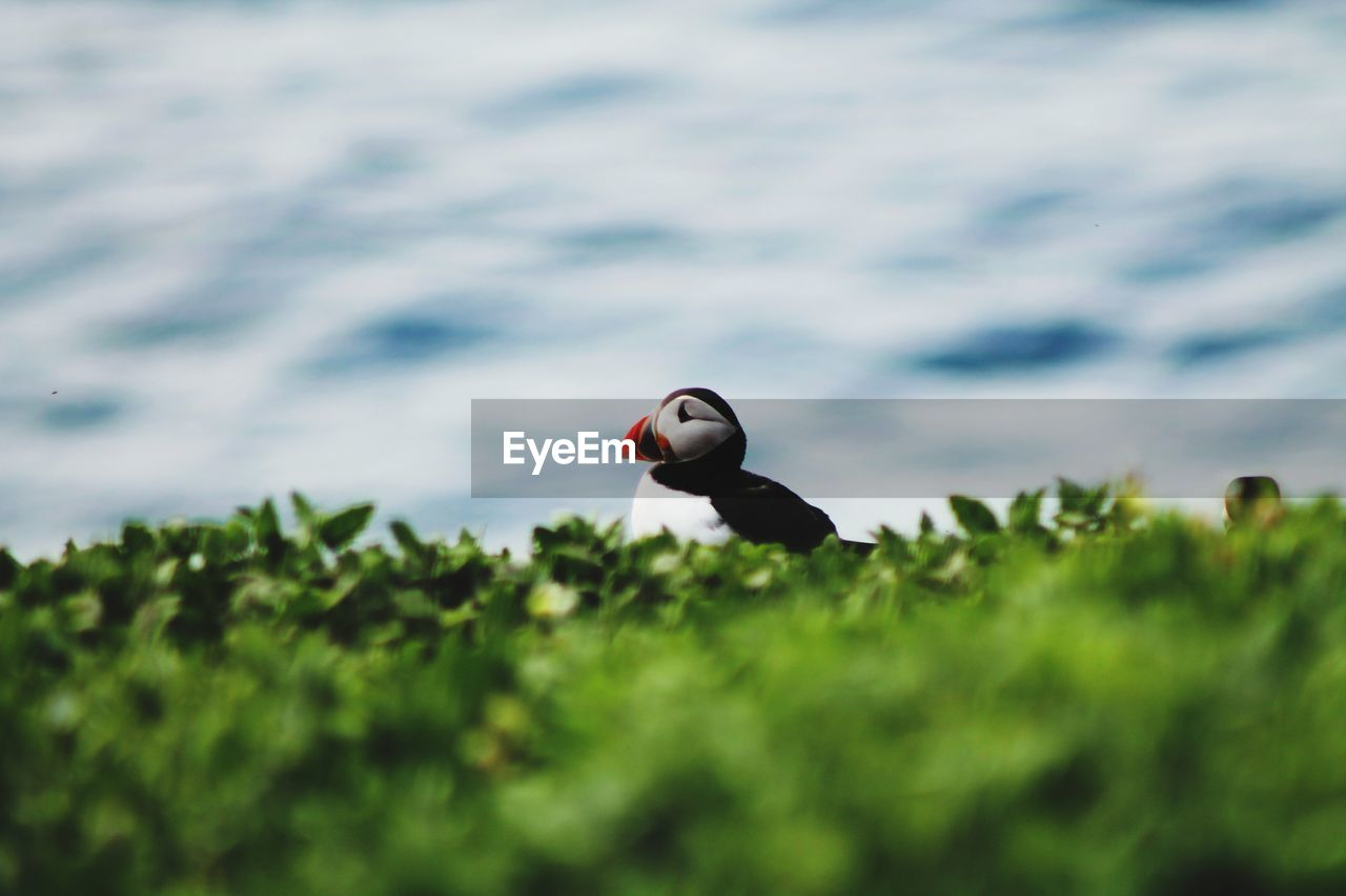 A lone puffin, how simply beautiful