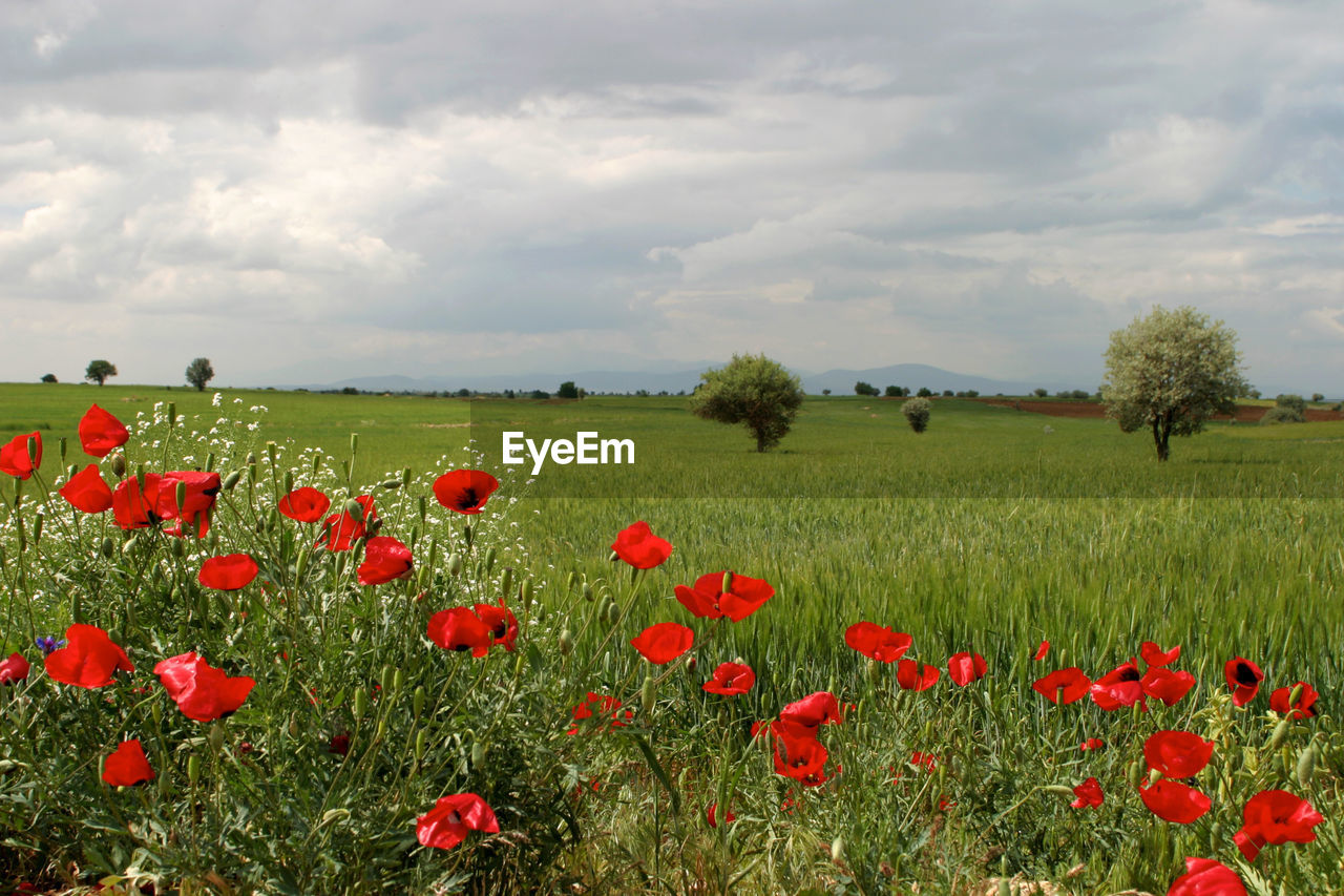 plant, flower, flowering plant, beauty in nature, growth, sky, field, cloud - sky, land, environment, freshness, landscape, red, nature, poppy, vulnerability, fragility, tranquility, scenics - nature, tranquil scene, no people, outdoors, flower head, flowerbed