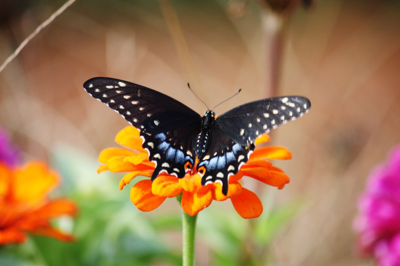 flower, insect, invertebrate, one animal, animal themes, flowering plant, animal, animal wildlife, plant, beauty in nature, animals in the wild, animal wing, butterfly - insect, fragility, close-up, vulnerability, growth, freshness, petal, flower head, pollination, no people, butterfly, pollen