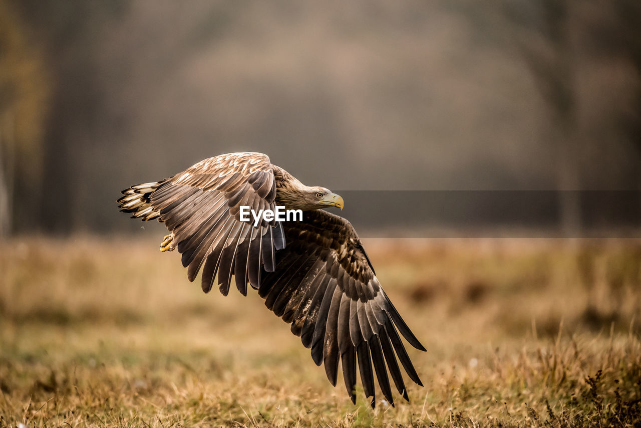 bird, animals in the wild, animal wildlife, animal themes, vertebrate, animal, one animal, bird of prey, spread wings, flying, nature, field, focus on foreground, land, day, no people, mid-air, sunlight, plant, outdoors, eagle