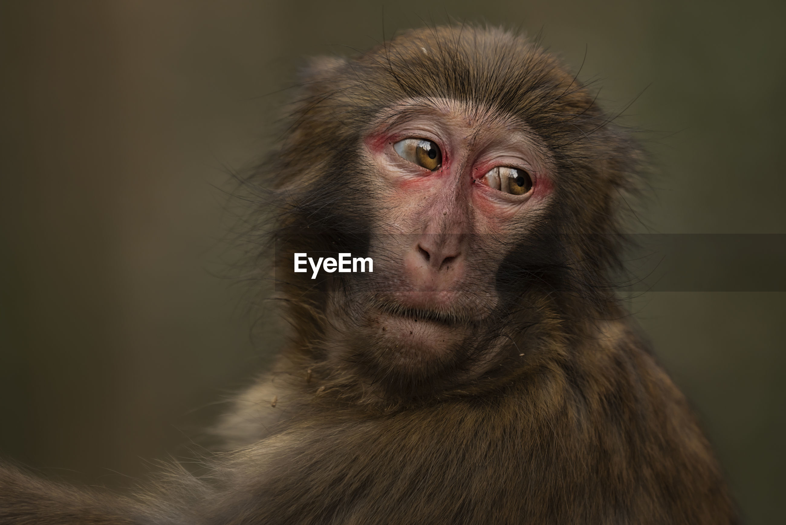 Close-up of japanese macaque looking away
