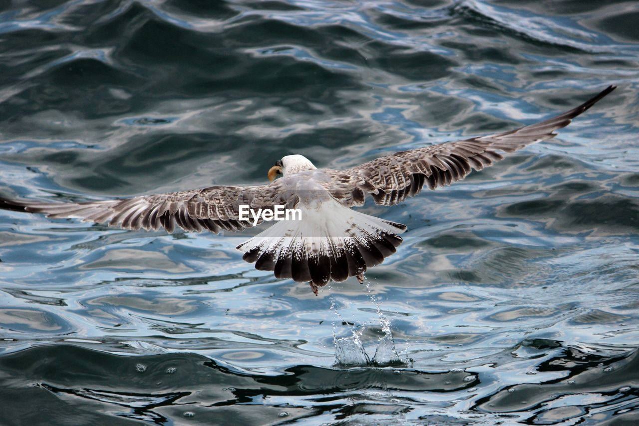 Rear View Of Eagle Flying Over Rippled Water