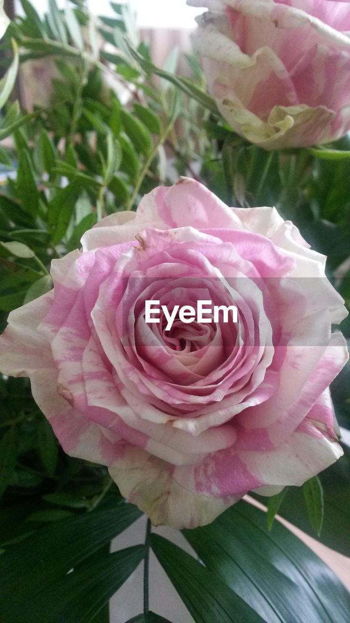 flower, petal, fragility, flower head, rose - flower, nature, pink color, beauty in nature, close-up, freshness, plant, growth, no people, day, leaf, outdoors, peony