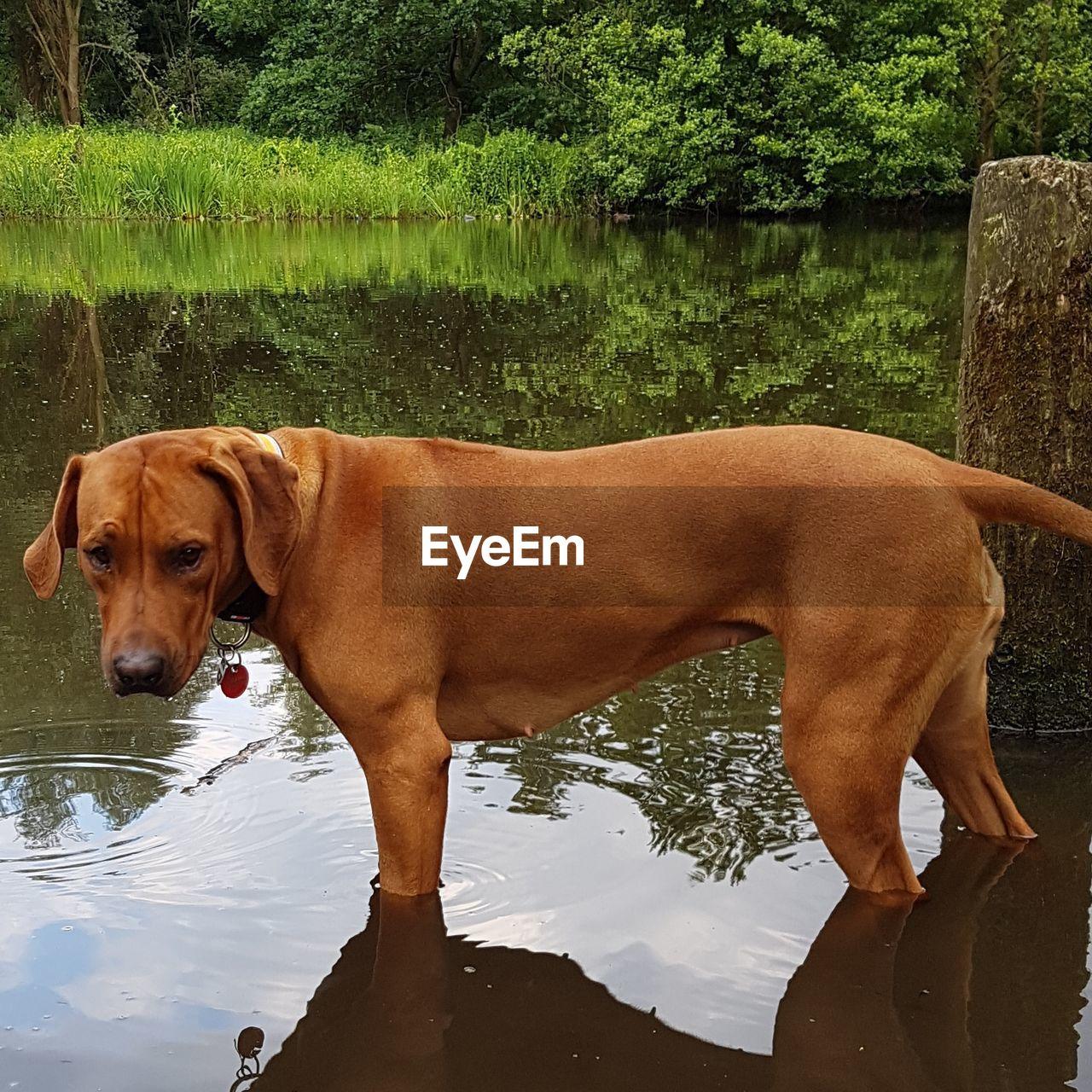 dog, domestic animals, mammal, water, pets, animal themes, lake, one animal, reflection, nature, day, outdoors, no people, tree