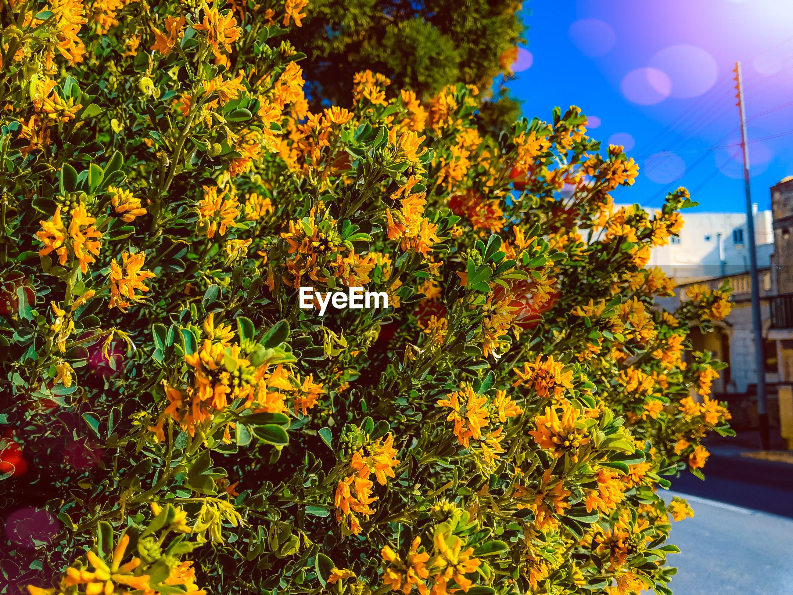 SCENIC VIEW OF ORANGE FLOWERING PLANT AGAINST SKY