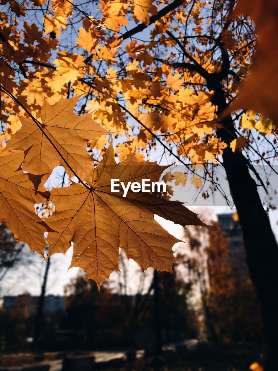 autumn, change, tree, plant part, leaf, plant, branch, orange color, nature, focus on foreground, day, maple leaf, leaves, no people, outdoors, beauty in nature, close-up, growth, sunlight, maple tree, natural condition, autumn collection, fall