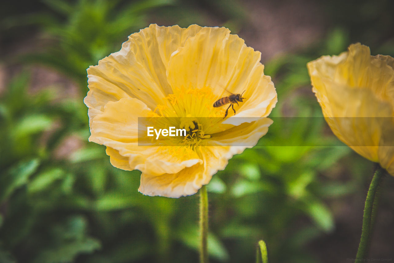 flowering plant, flower, fragility, vulnerability, petal, plant, beauty in nature, freshness, growth, flower head, yellow, close-up, inflorescence, animal, insect, invertebrate, animals in the wild, animal themes, focus on foreground, animal wildlife, no people, outdoors, pollen, pollination