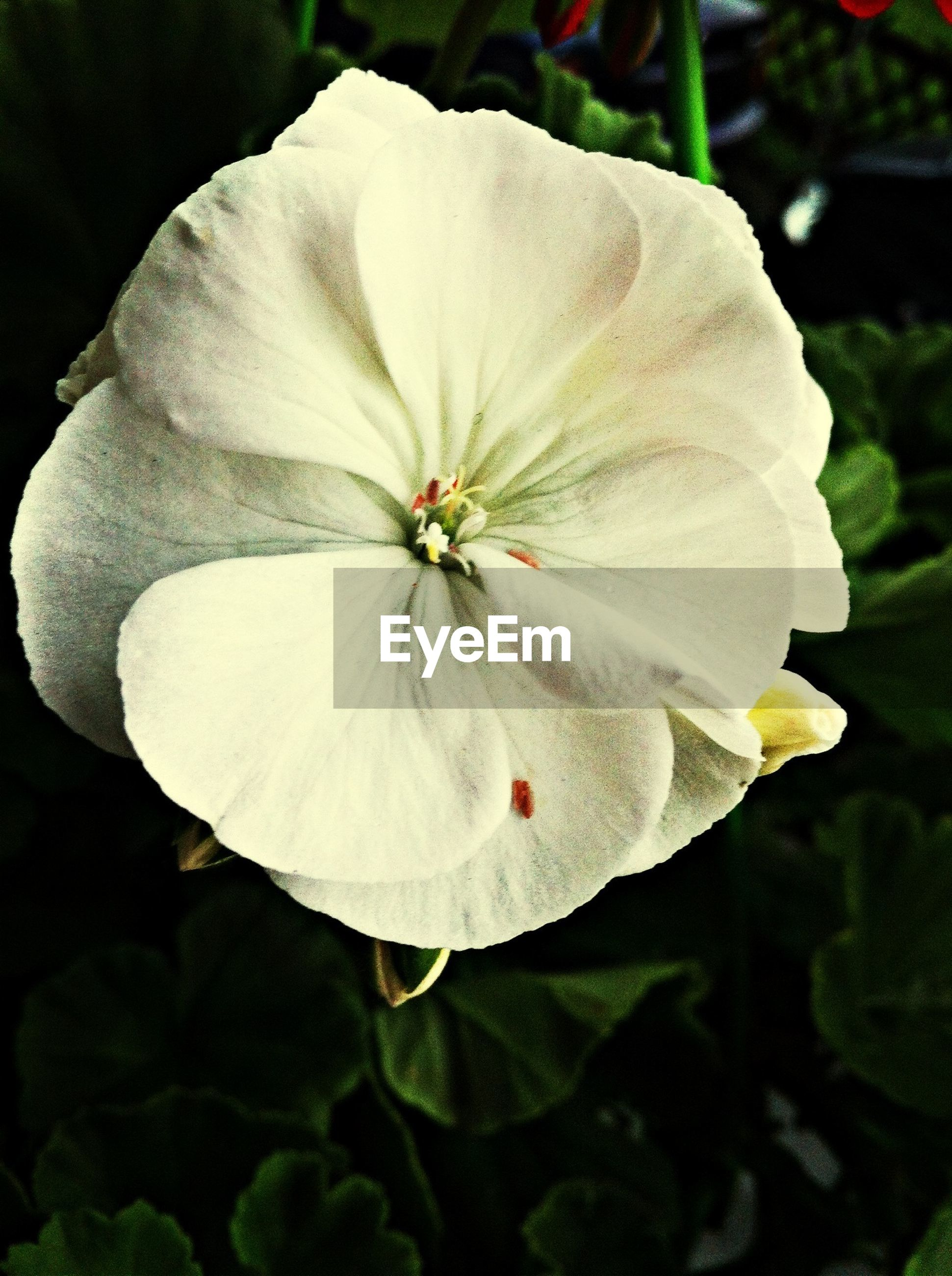 flower, petal, flower head, fragility, freshness, single flower, close-up, beauty in nature, growth, white color, pollen, stamen, blooming, nature, in bloom, focus on foreground, plant, blossom, no people, outdoors