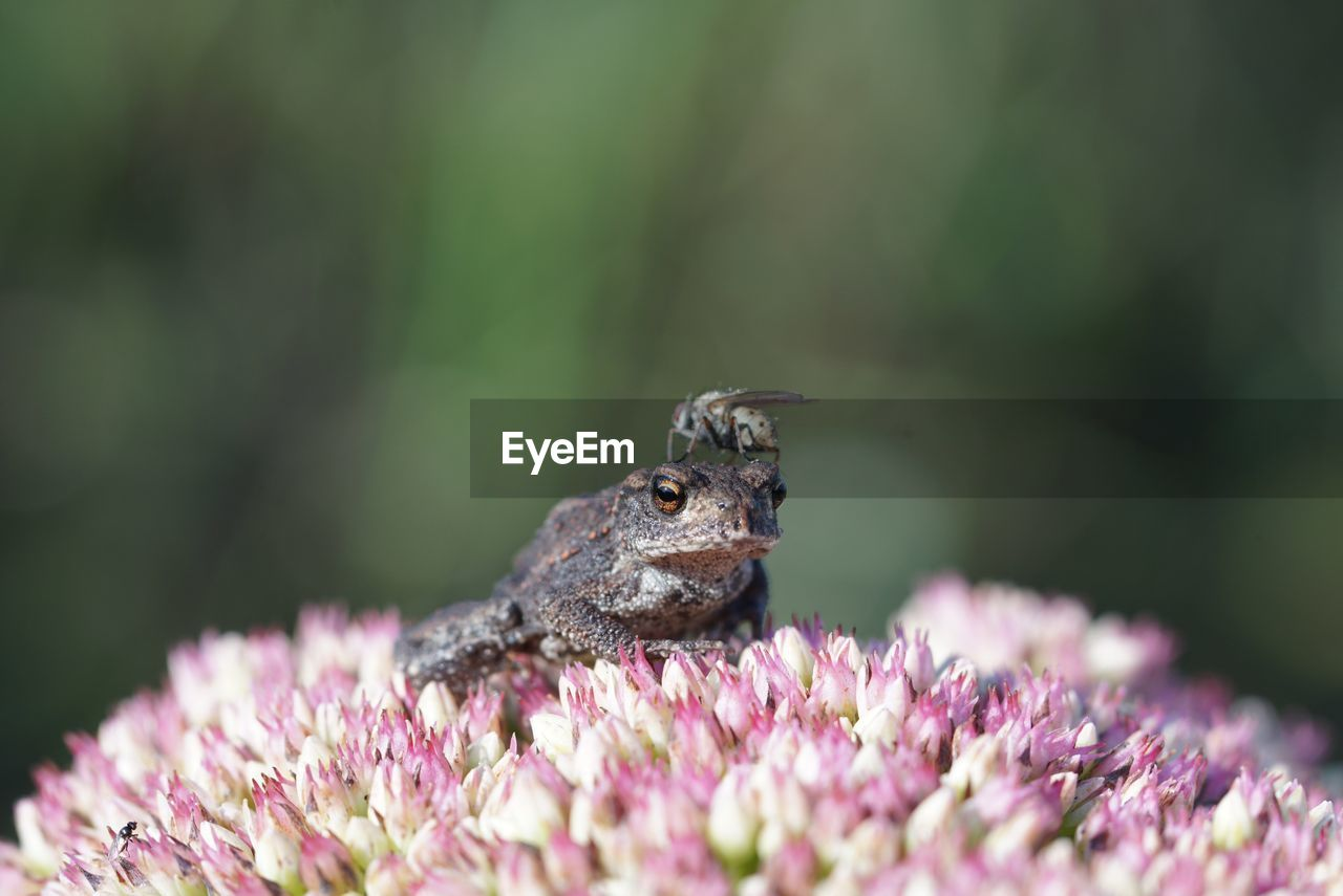 Close-Up Of Frog With Insect On Pink Flower
