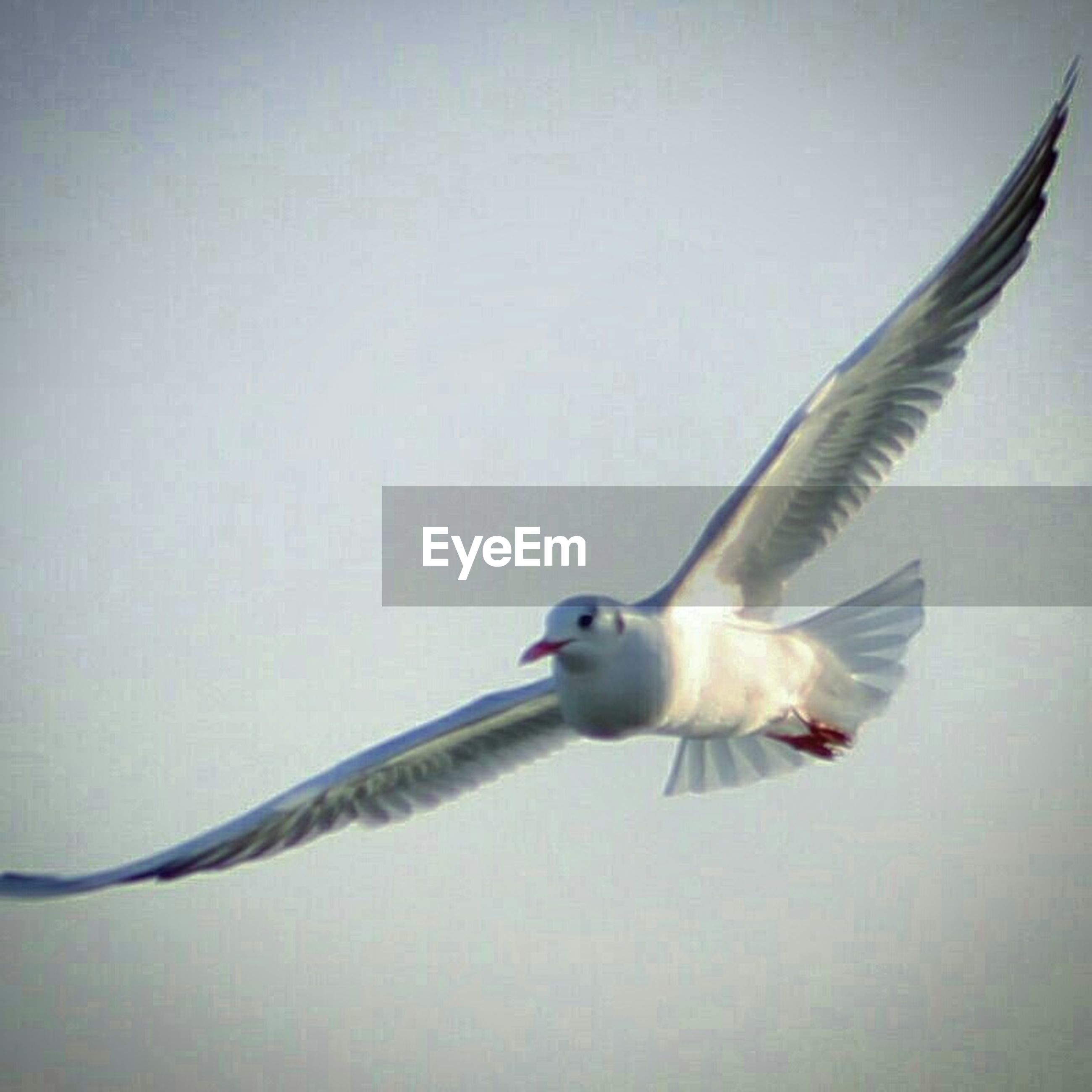 bird, animal themes, animals in the wild, flying, one animal, wildlife, spread wings, mid-air, seagull, full length, clear sky, copy space, motion, perching, zoology, side view, nature, beak, animal wing, day
