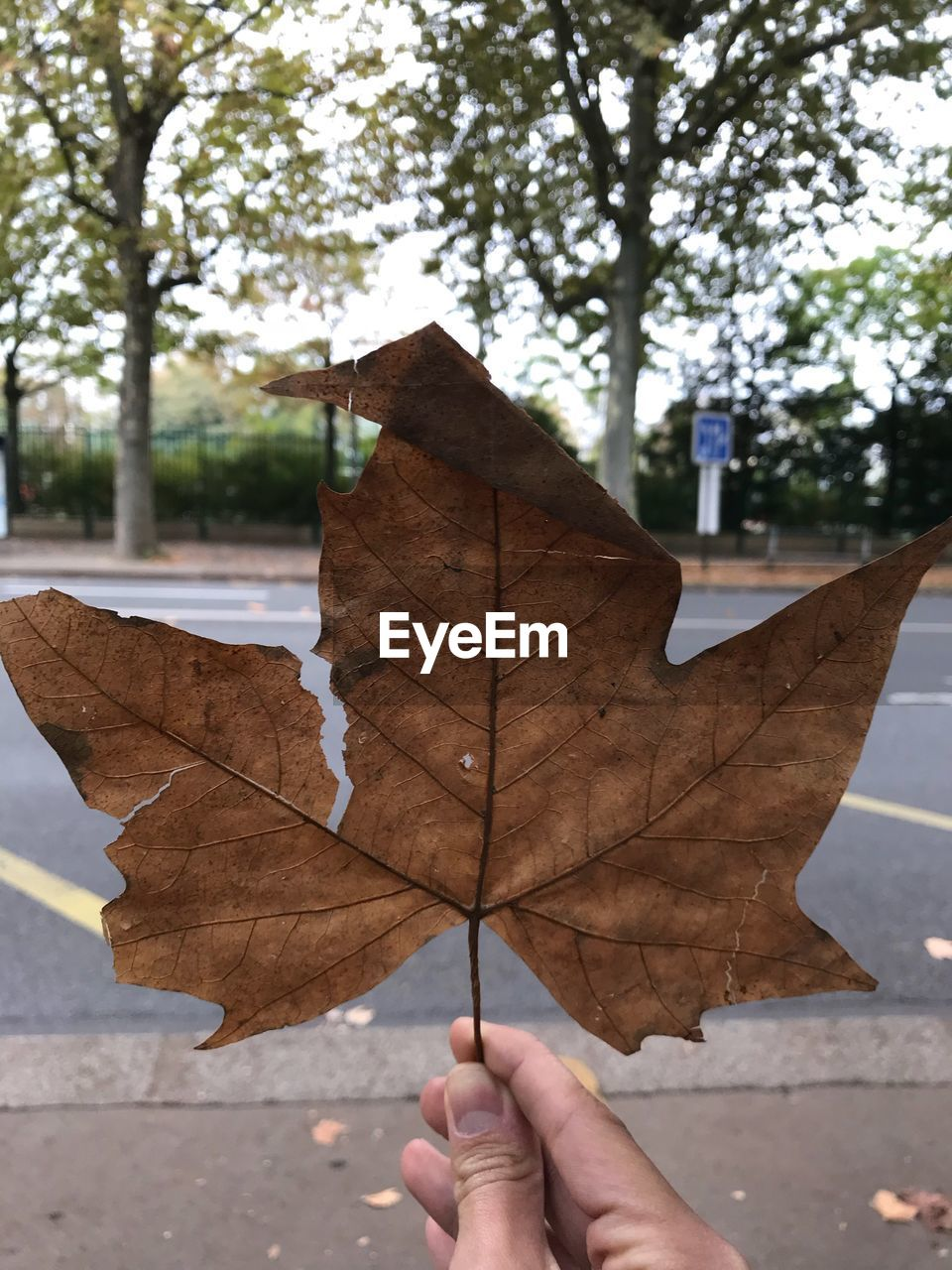 leaf, autumn, change, dry, outdoors, one person, nature, day, real people, close-up, weather, holding, maple leaf, focus on foreground, tree, maple, fragility, human hand, beauty in nature, human body part