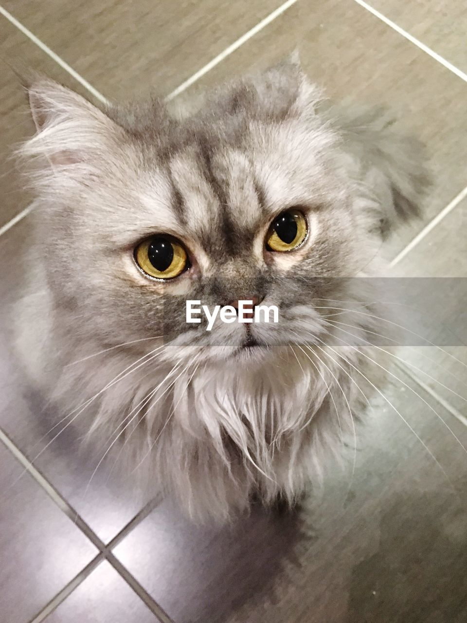 cat, domestic, pets, domestic cat, domestic animals, mammal, feline, portrait, looking at camera, vertebrate, one animal, indoors, high angle view, flooring, no people, whisker, animal body part, persian cat, maine coon cat, animal eye