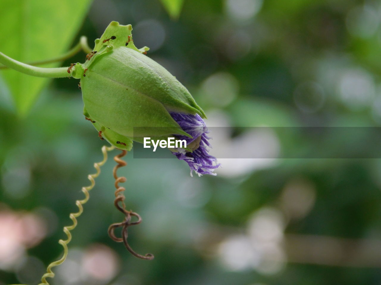 plant, growth, close-up, beauty in nature, green color, vulnerability, focus on foreground, freshness, no people, flower, flowering plant, fragility, nature, bud, day, beginnings, plant part, leaf, plant stem, outdoors, flower head, purple, sepal