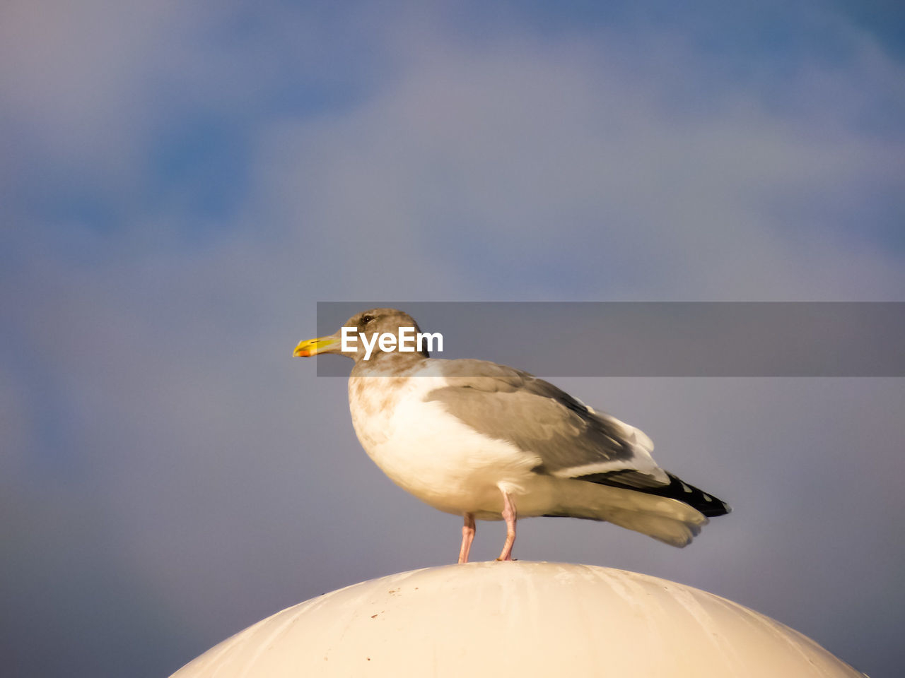 animal themes, animals in the wild, one animal, bird, focus on foreground, animal wildlife, perching, seagull, day, outdoors, close-up, no people, nature, sky, beauty in nature