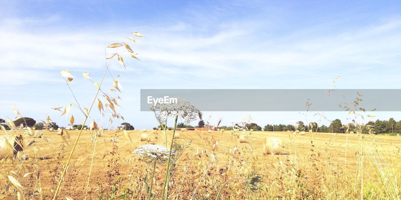 plant, field, landscape, sky, land, environment, growth, beauty in nature, tranquil scene, tranquility, scenics - nature, rural scene, cloud - sky, agriculture, nature, no people, farm, day, crop, grass, outdoors, plantation