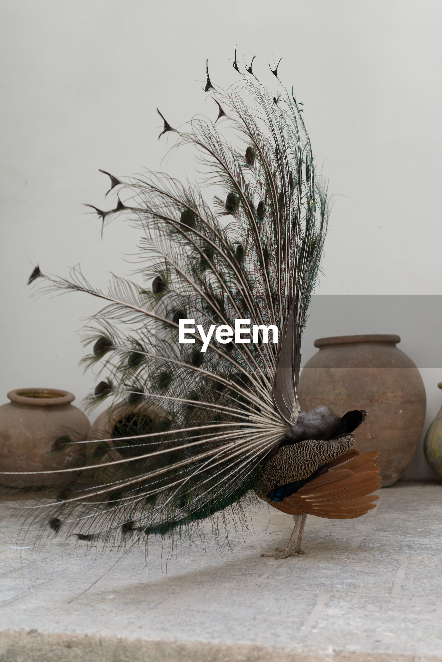 Side view of fanned out peacock against wall