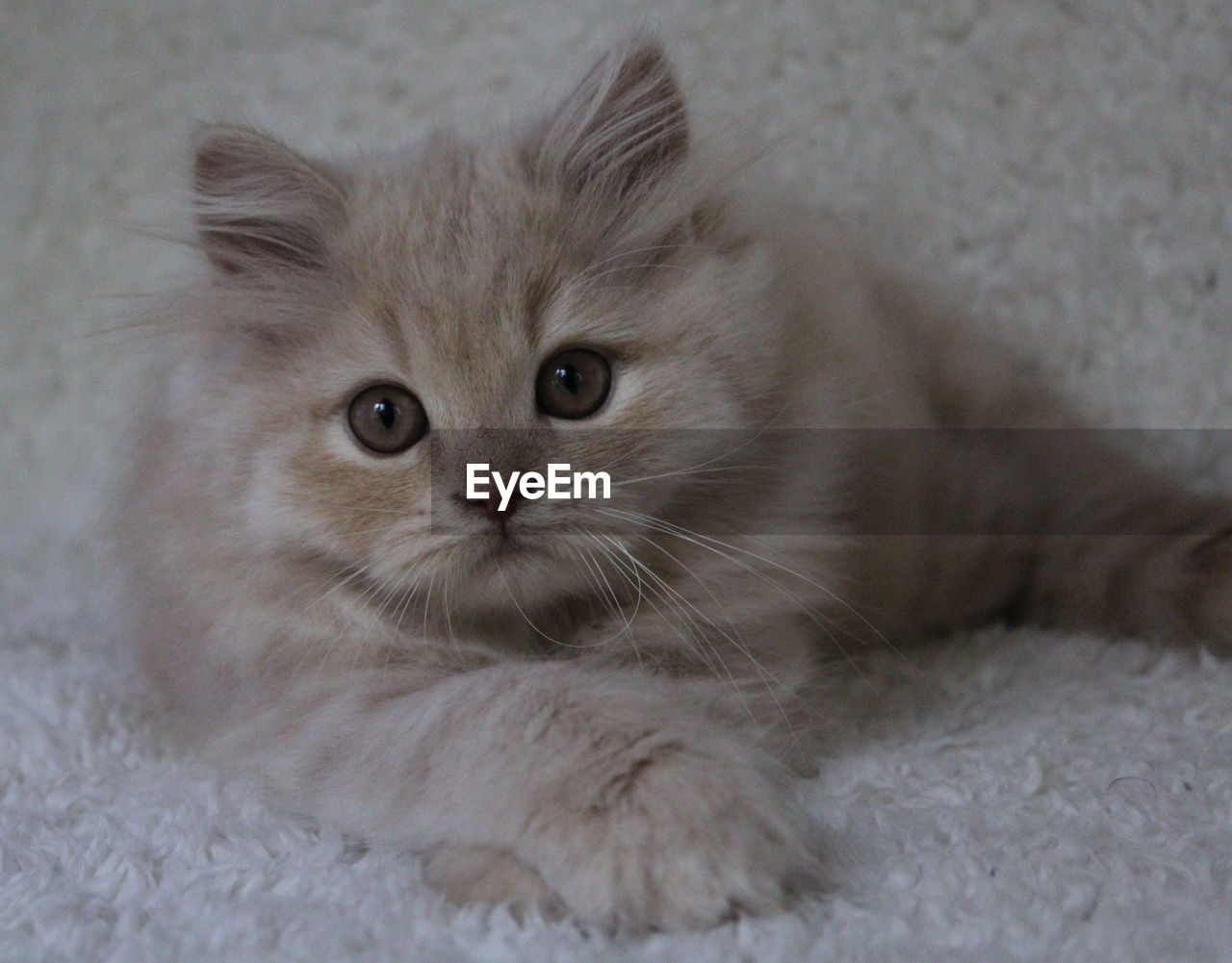 cat, domestic, pets, mammal, domestic cat, feline, animal themes, animal, domestic animals, one animal, vertebrate, looking at camera, portrait, indoors, relaxation, no people, whisker, close-up, home interior, lying down, persian cat