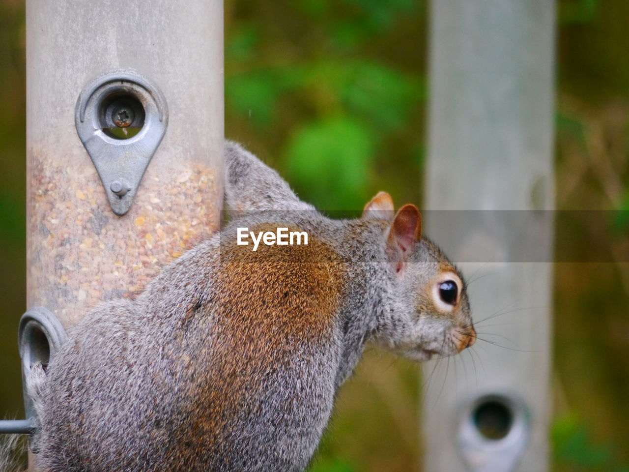 animal, animal themes, animal wildlife, animals in the wild, mammal, one animal, squirrel, rodent, focus on foreground, close-up, vertebrate, no people, day, nature, outdoors, side view, tree, animal body part, portrait, looking, animal head, whisker, animal eye