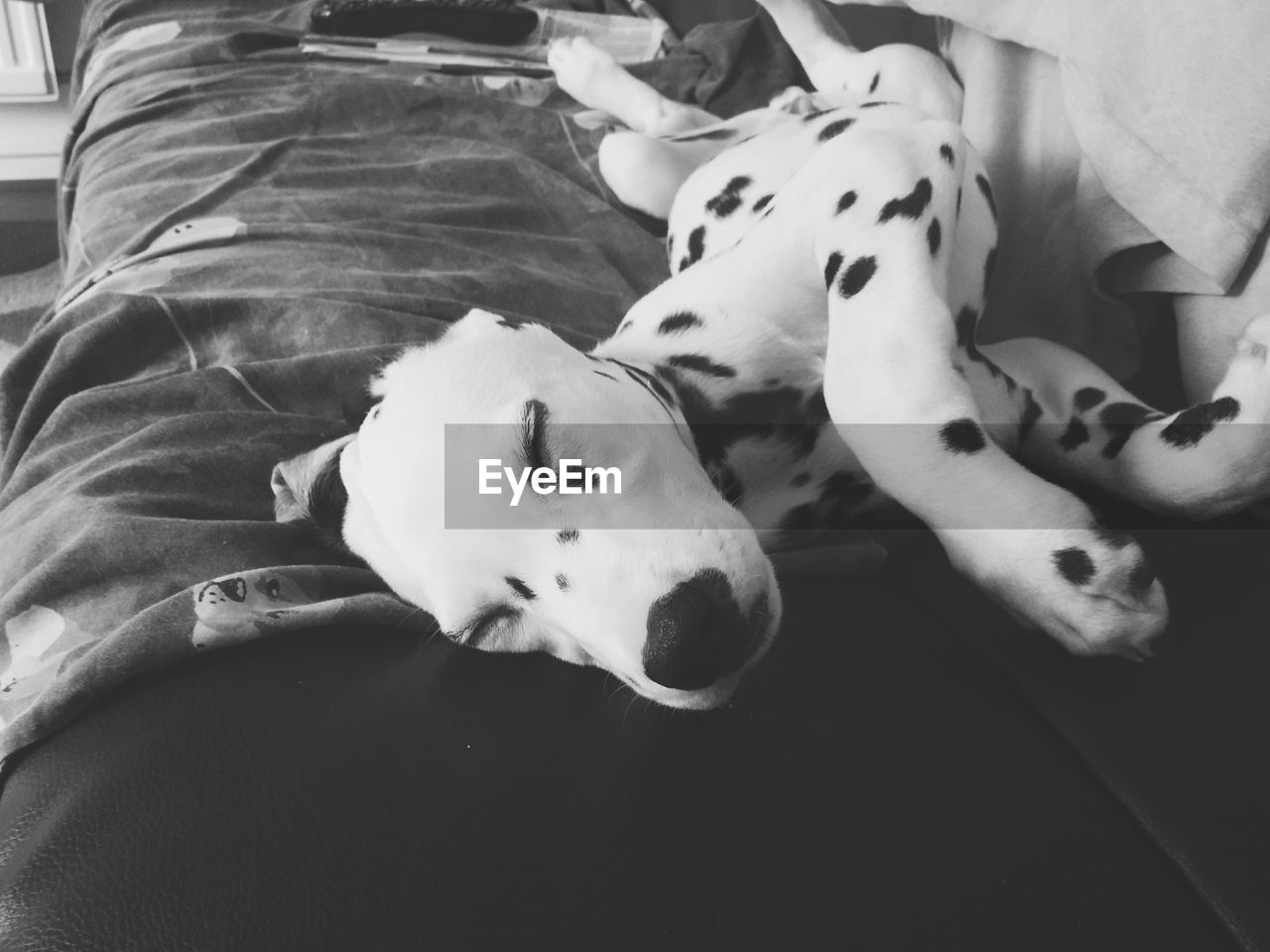 dog, pets, dalmatian dog, domestic animals, animal themes, mammal, one animal, indoors, lying down, high angle view, relaxation, bed, no people, day, close-up