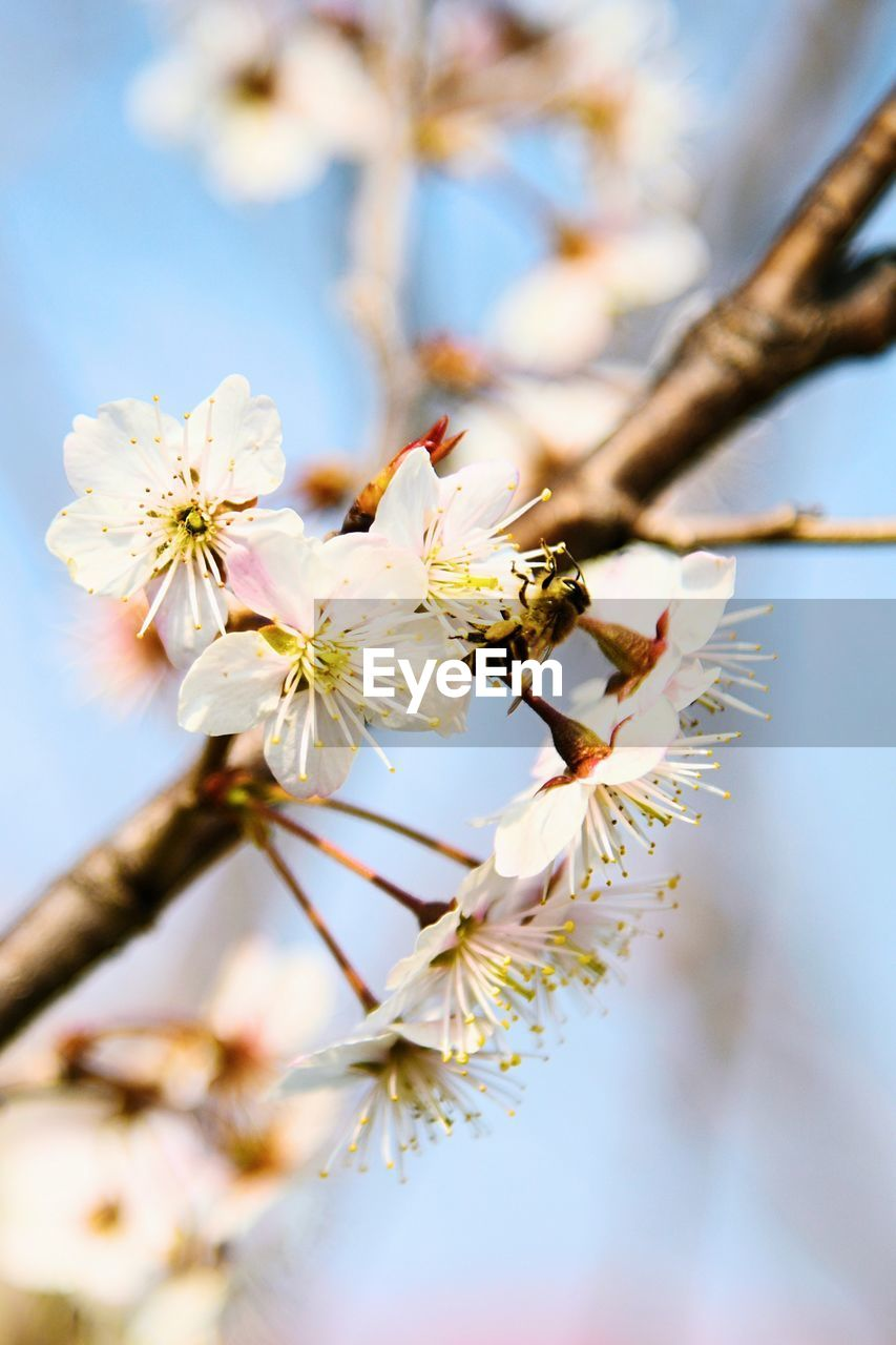 plant, flower, flowering plant, tree, fragility, beauty in nature, freshness, growth, branch, vulnerability, springtime, close-up, nature, blossom, selective focus, twig, cherry blossom, fruit tree, day, focus on foreground, no people, pollen, flower head, outdoors, cherry tree, plum blossom