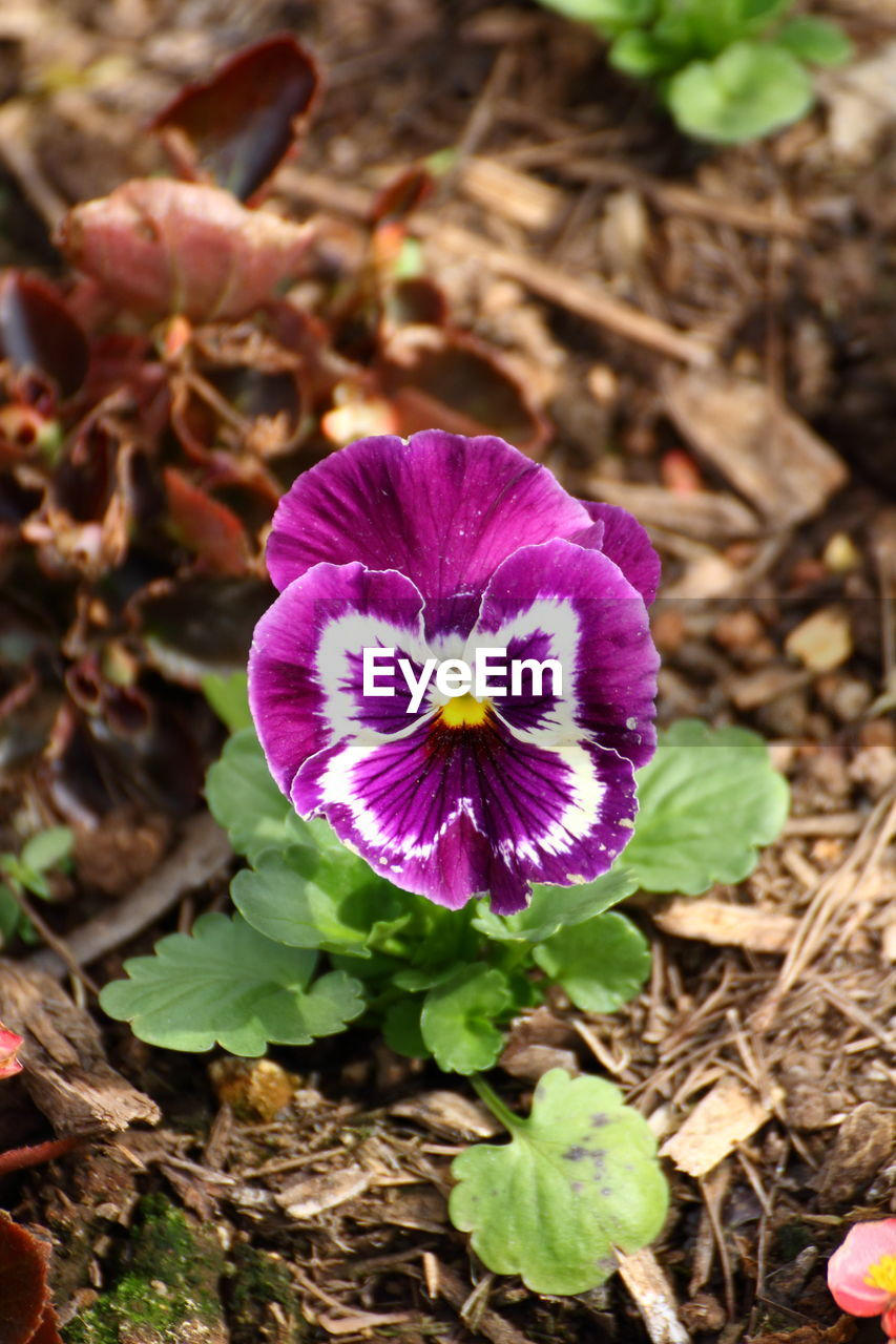 flower, fragility, petal, beauty in nature, flower head, nature, freshness, growth, purple, plant, outdoors, no people, high angle view, field, day, blooming, close-up, crocus