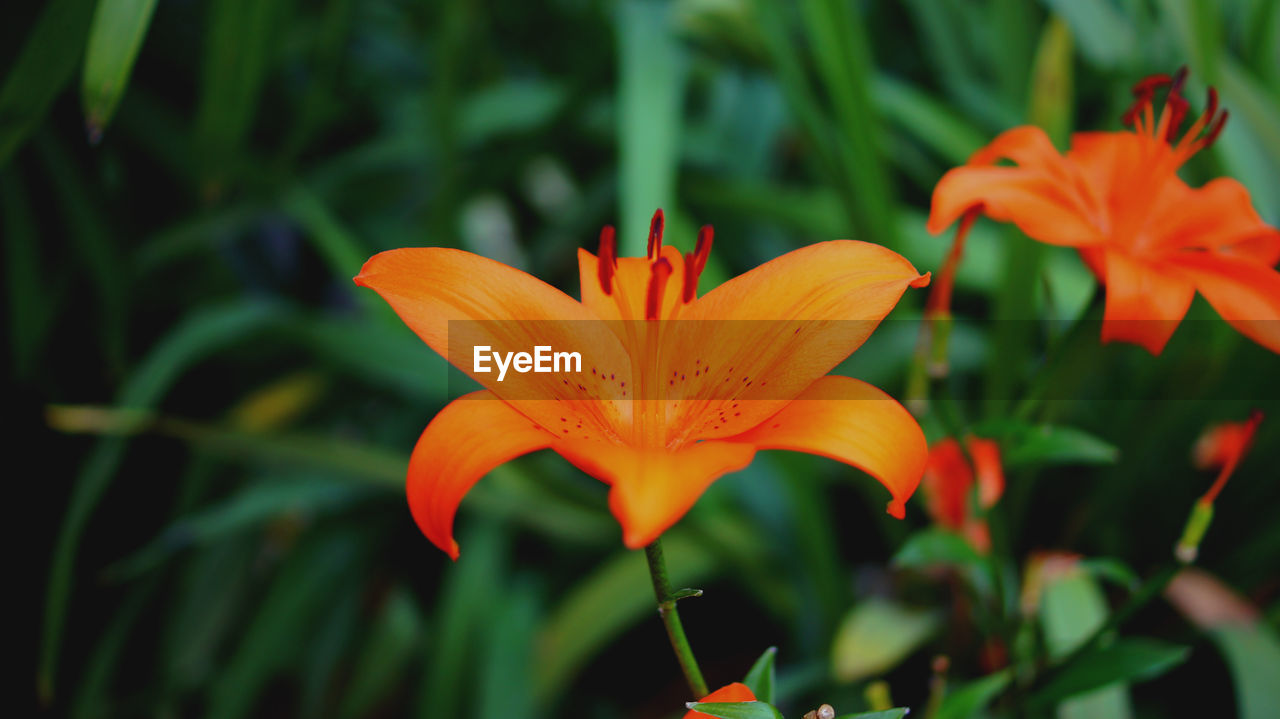 flower, petal, orange color, growth, nature, beauty in nature, plant, freshness, flower head, fragility, focus on foreground, outdoors, blooming, close-up, no people, day, day lily