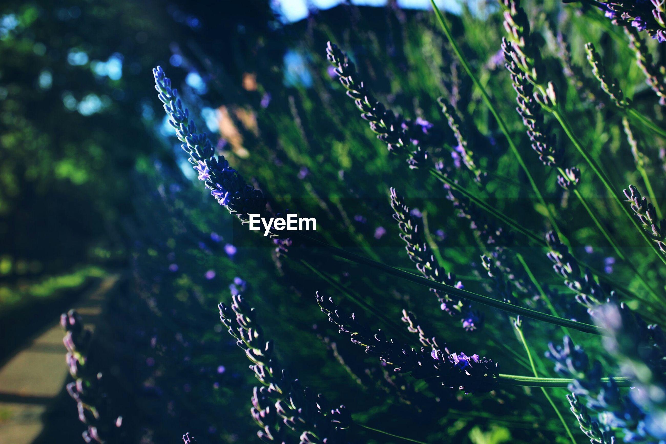 Close-up of purple flower buds