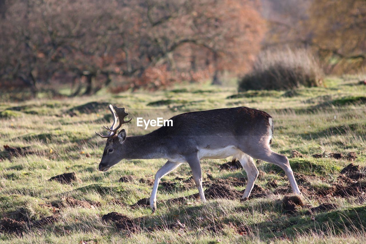 animal themes, animal wildlife, animal, animals in the wild, mammal, deer, one animal, field, land, plant, vertebrate, grass, nature, no people, day, side view, domestic animals, antler, tree, outdoors, herbivorous, profile view