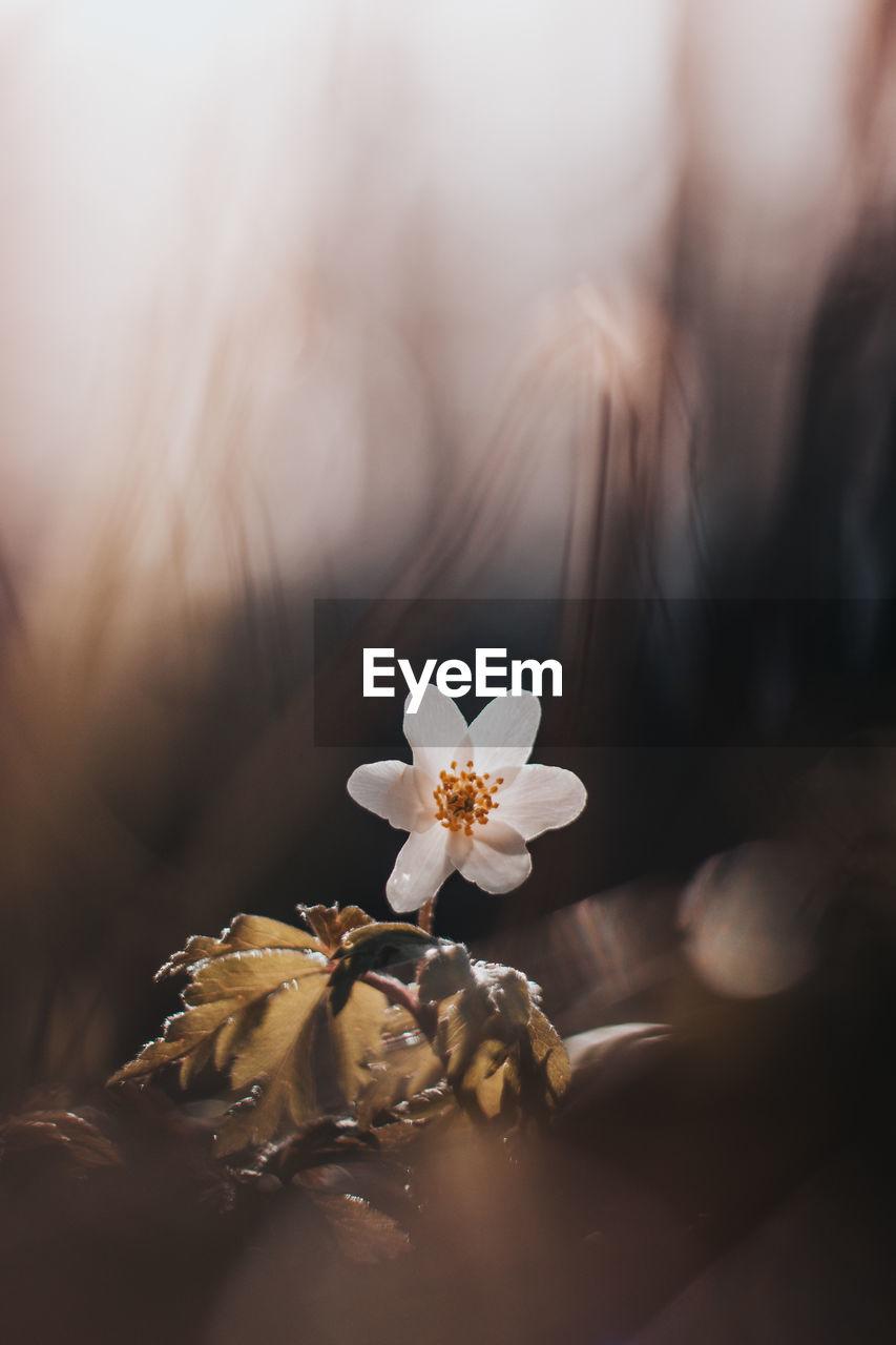 Close-up of anemonoides nemorosa flower illuminated by late sun. wood anemone flower